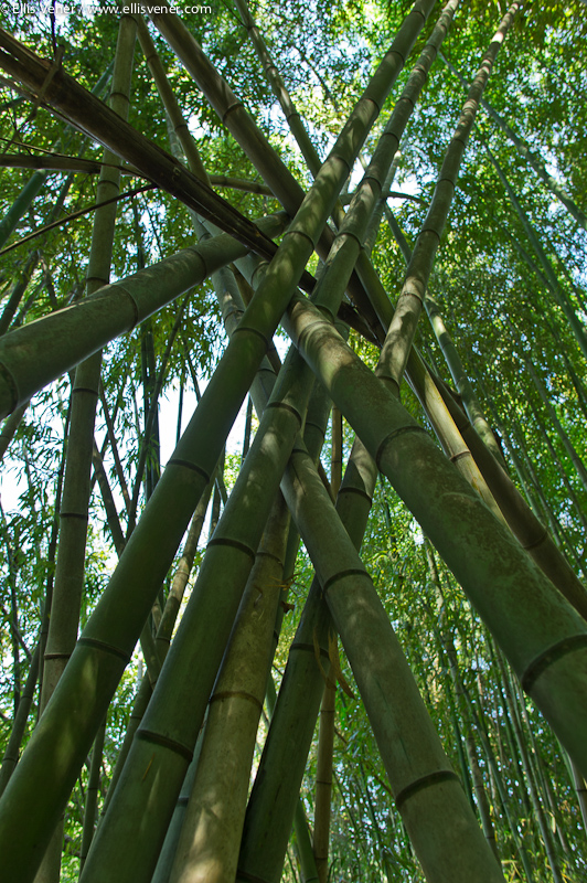 Bamboo grove on the Chattahoochee River